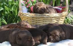 Filhotes TOP's de Labrador Retriever Chocolate!