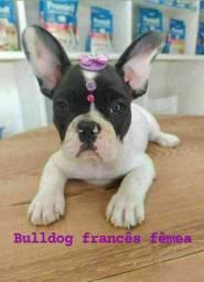 Bulldog adoráveis na espaço vet