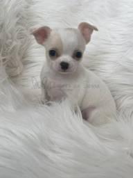 Chihuahuas alto padrão no PR