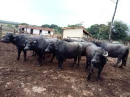 Búfalas leiteiras