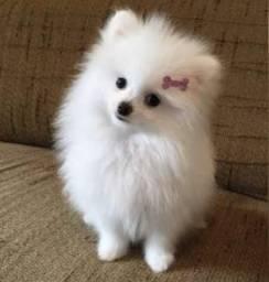 Vendo esse cachorro lindo , pq moro em apartamento e n estou tendo condições