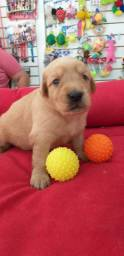 GOLDEN RETRIEVER MACHO DOURADO
