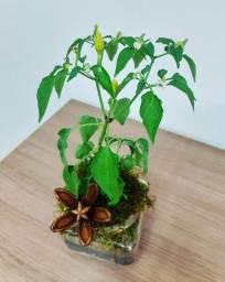 Vaso de de vidro pé de pimenta natural