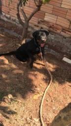 Rottweiler 4 meses