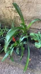 Bromélia