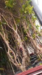 Plantas frutíferas de qualidade