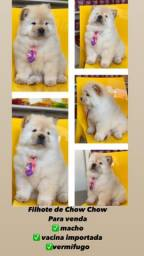 Vendo lindo filhote de Chow Chow