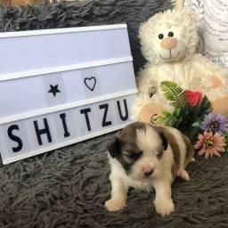 Filhote de Shih-tzu !