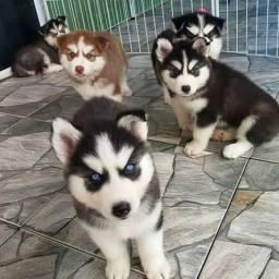 Belos filhotes de Husky