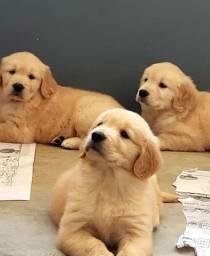Golden Retrievers Encantadores