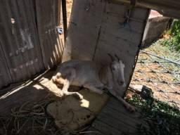 Vendo cabra com dois filhotes e preia