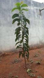 Planta de Abacate