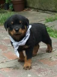 Rottweiler filhote disponível