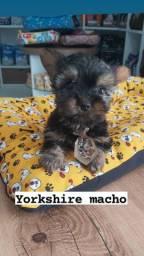 Filhotes de yorkshire macho