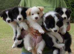 Border collie disponível filhotes