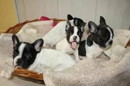 Lindas Fêmeas Bulldog Francês