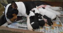 Bull Terrier de qualidade