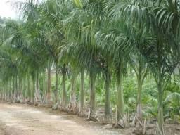 Palmito para conserva, Palmeira Real, Não é Pupunha