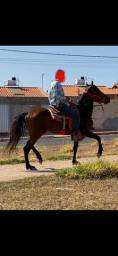Cavalo MM (mangalarga marchador) registrado