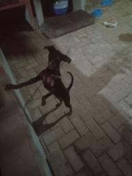 Vendo cachorro Pincher n 2