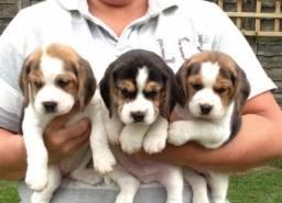 Belos filhotes beagle com pedigree