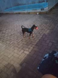 Cachorro Pincher n 2
