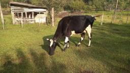 Vendo vaca holandesa/ aceito troca por gir