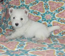 West highland white terrier femeas e machos disponíveis