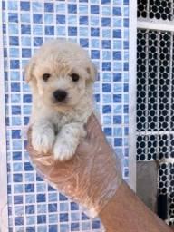 Poodle machos e fêmeas disponíveis !! Com Garantias