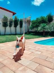 Bull Terrier ( 1 ano ) com Pedigree
