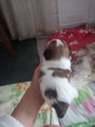 Lhasa apso macho