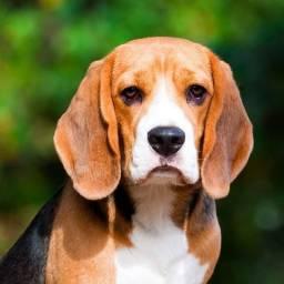 Beagle compro pedigree CBKC de beagle
