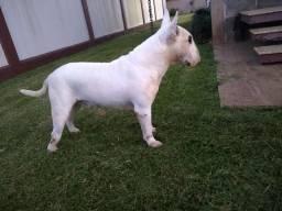 Bull terrier cobertura