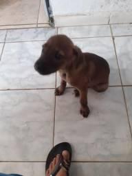 Doado cachorra fila com pitbull