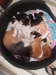 Beagles tricolores