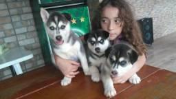 Filhote Husky Siberiano (Pronta Entrega)