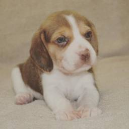 Filhote de Beagle com Pedigree