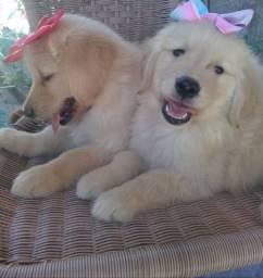 !!! Golden Retriever Filhotes !!!