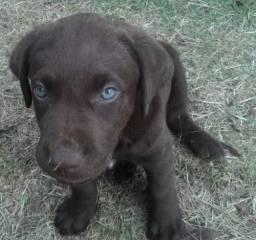 Filhote Labrador Retriever Macho