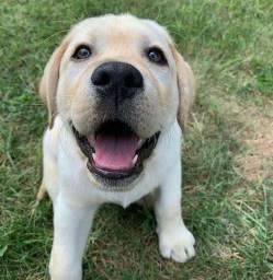 Labrador com garantia