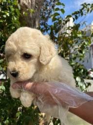Poodle toy lindos filhotes a pronta entrega !!!<br><br><br>