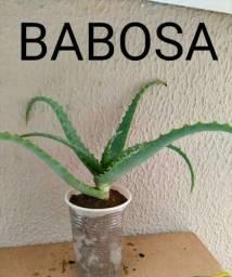 Título do anúncio: babosa aloe vera chama no whats 99686-45-03