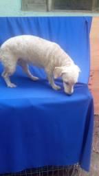 Poodle toy fêmea  ADULTA