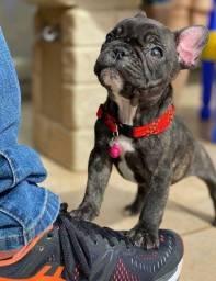 Filhotes de Bulldog Francês incríveis