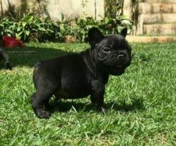 Bulldog Francês - Filhotes