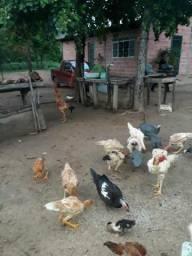 Índio gigante galinhas