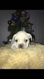 Bulldog francês vacinado e com contrato