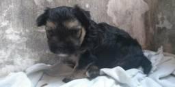 Vende-se filhote de yorkshire terrier Minie