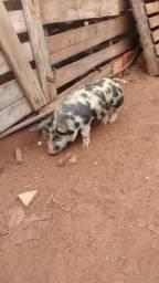 Vendo uma mini porca