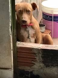 American Pitbull terrier ótima linhagem 8 meses